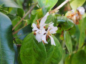 Camellia yunsiense