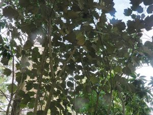 Sinopanax formosanus