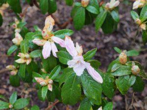 Rhododendron ciliialyx