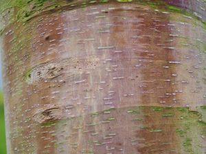 Betula albo sinensis
