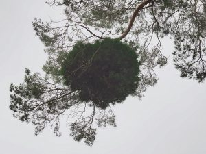 balls of dense growth on scots pines