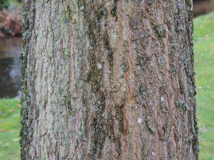 Quercus nigra 'Beethoven'