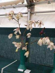 Savill class 16 - magnolia denudata 'Sunrise'
