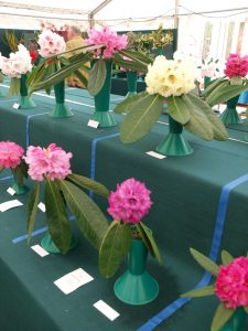 Savill class 2 - Rhododendron macabeanum, praestans, nivuem