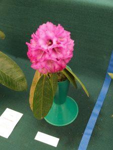 Savill class 5 - Rhododendron arborea niveum