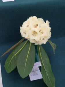 Savill class 9 - Rhododendron sinogrande