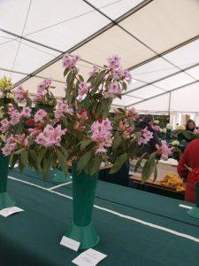 Savill class 24 - Rhododendron siderophyllum