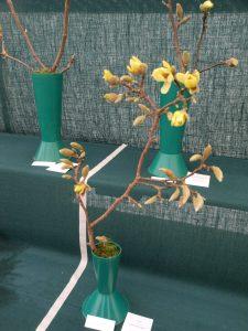 Savill Class 15 - Magnolia acuminata 'Butterflies'