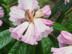 Rhododendron gongshanense