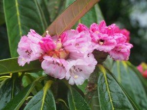 Rhododendron praestans