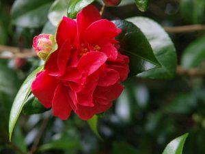 Camellia 'Miss Charleston'