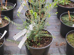 Melaleuca squarrosa