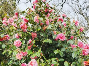 Camellia reticulata 'Dream Castle'