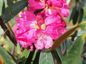 red form of Rhododendron arboreum