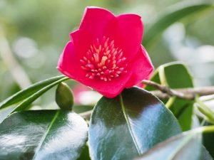 Camellia 'Kimberley'