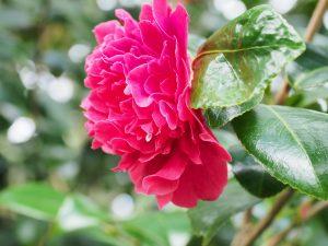 Camellia 'Kramers Supreme'