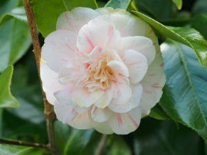 Camellia 'Marguerete Gouillon'