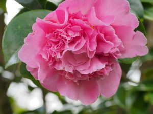 Camellia 'Tiffany'