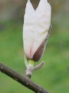 Magnolia zenii x M. salicifolia 'Jermyns'