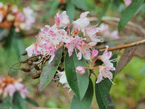 White and pink forms of Rhododendron siderophyllum