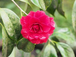 Camellia 'Arajishi'