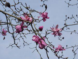 Magnolia 'Lanarth' seedlings