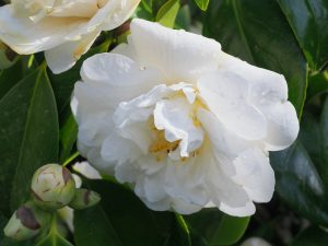 Camellia 'Grandiflora Alba'