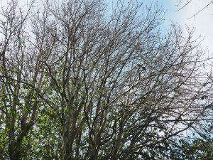 Michelia doltsopa is leafless