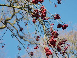 Perhaps a Sorbus intermedia