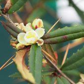 Beberis x stenophylla 'Lemon Queen'