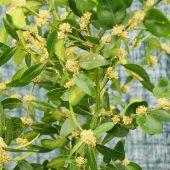 Buxus hyrcanus