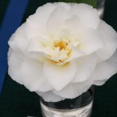 Camellia 'Kona'