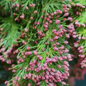 Chamaecyparis lawsoniana 'Little Spire'