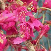 Prunus campanulata 'Felix Jury'