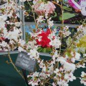 Prunus incisa 'Odariko'