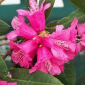Rhododendron anthosphaerum