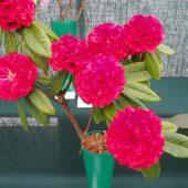 Rhododendron barbatum (Needham 473)