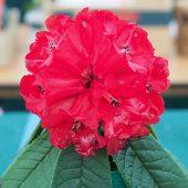 Rhododendron agripeplum