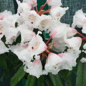 Rhododendron calophytum var openshawianum