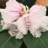 Rhododendron cyanocarpum