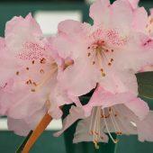 Rhododendron elegantum