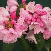 Rhododendron fulvum ss ponticum