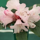 Rhododendron glischroides