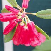 Rhododendron neriiflorum L&S 1362