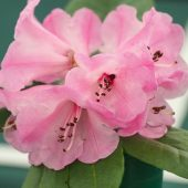 Rhododendron hirtipes
