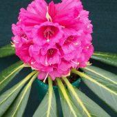 Rhododendron hodgsonii – SSYT 9