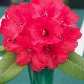 Rhododendron hookeri