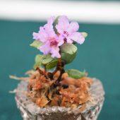 Rhododendron intricatum