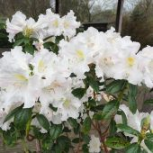 Rhododendron 'Jim Russel'