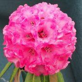 Rhododendron lonigerum